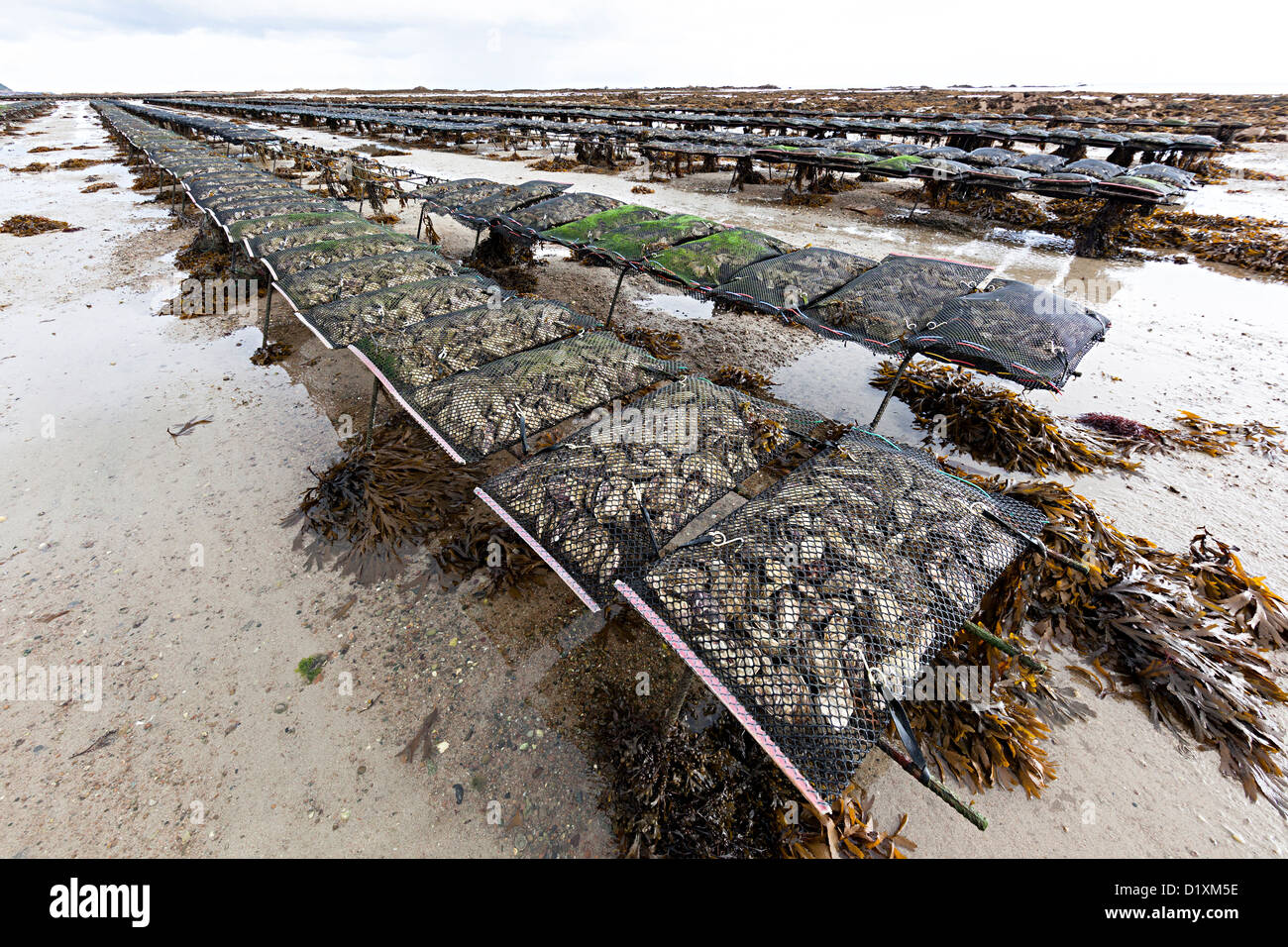 Oyster farming at low tide near Seymour Tower, Jersey, Channel Islands, UK Stock Photo