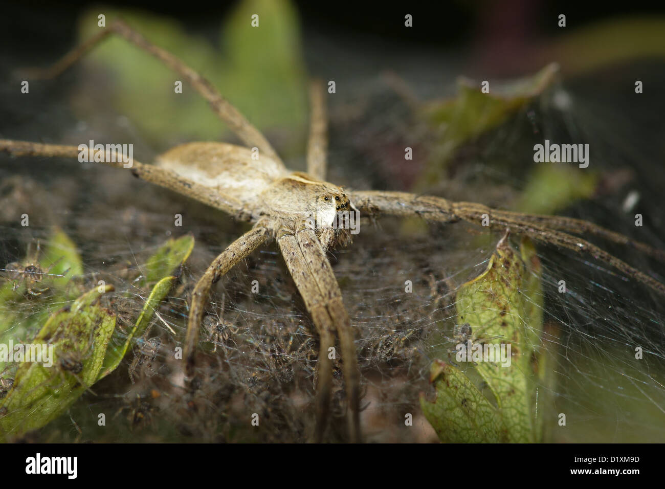 Nursery Web Spider Guarding It's Brood / Pisaura mirabilis - Stock Image