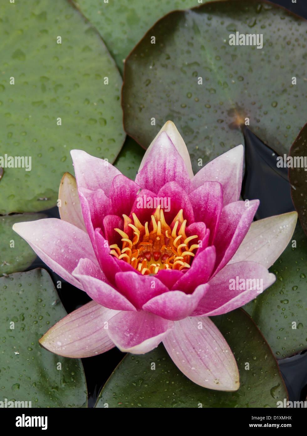 Lotus Flower Water Stock Photos Lotus Flower Water Stock Images