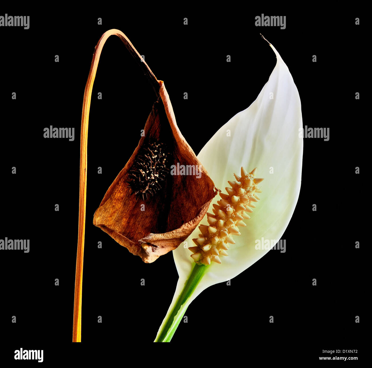 This photo shows continuity; while one flower dies, the other emerges vigorously - Stock Image