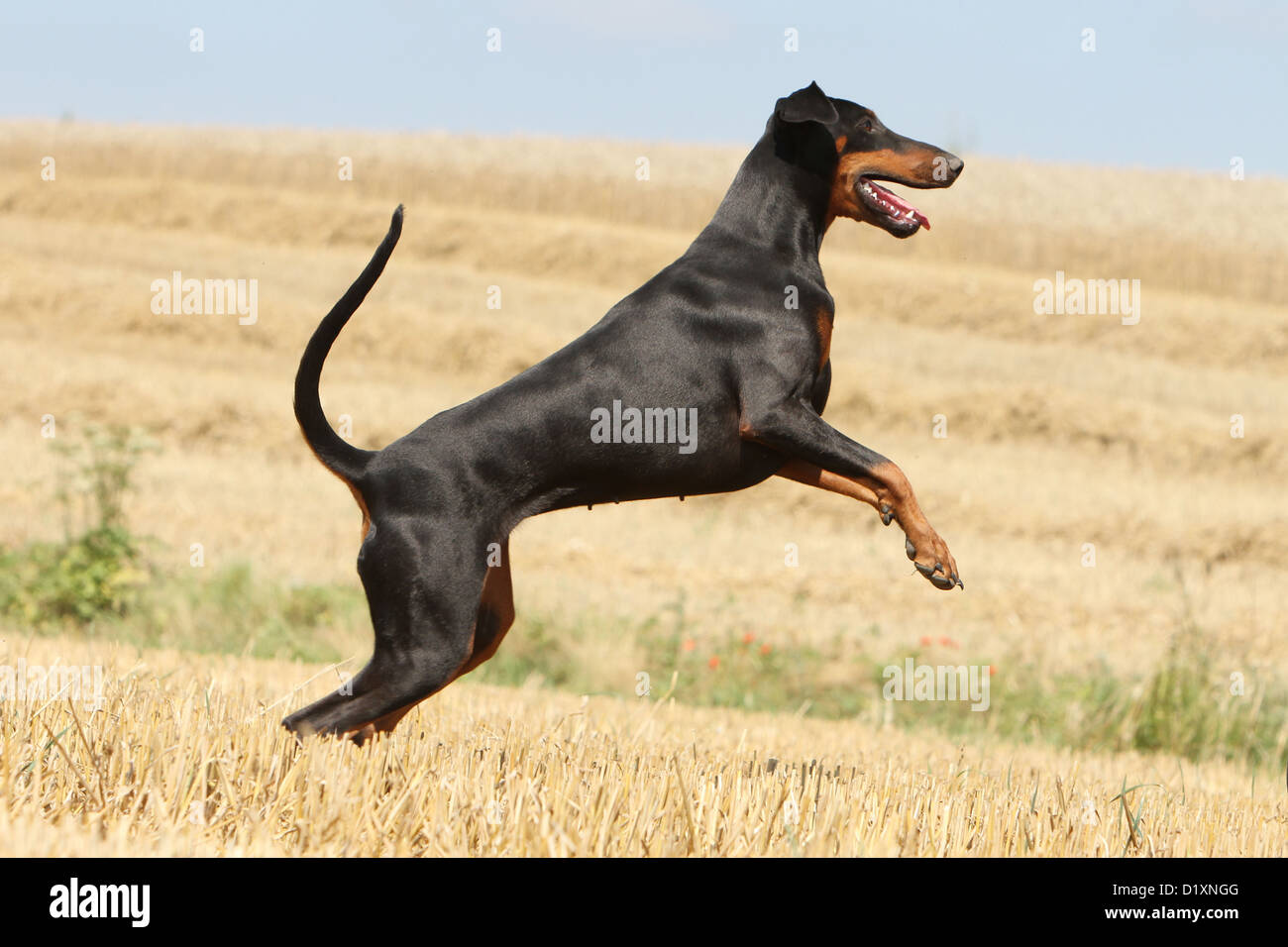 Dog Dobermann Doberman Pinscher Natural Ears Adult Running Stock