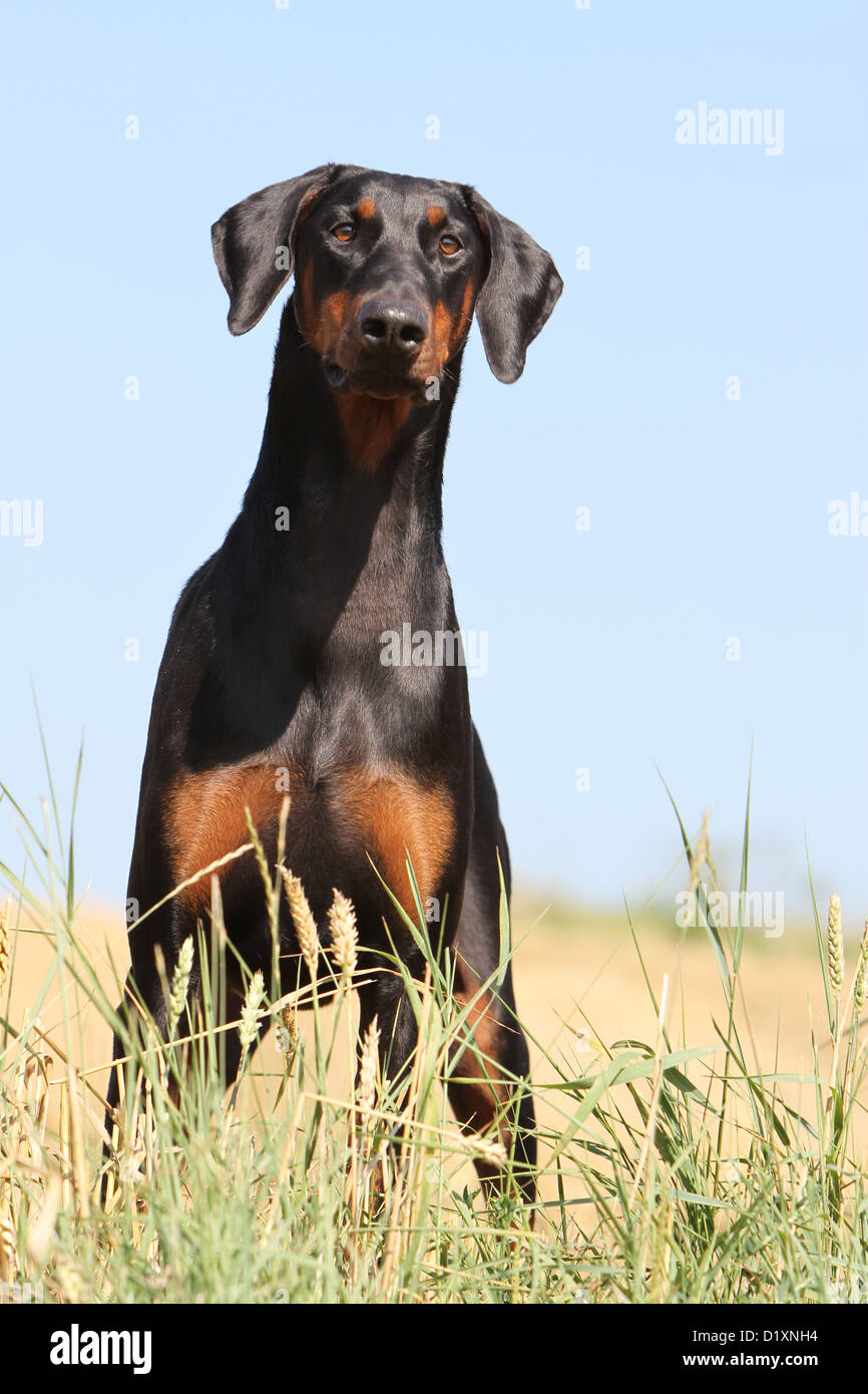 Dog Dobermann / Doberman Pinscher (natural ears) adult standing - Stock Image