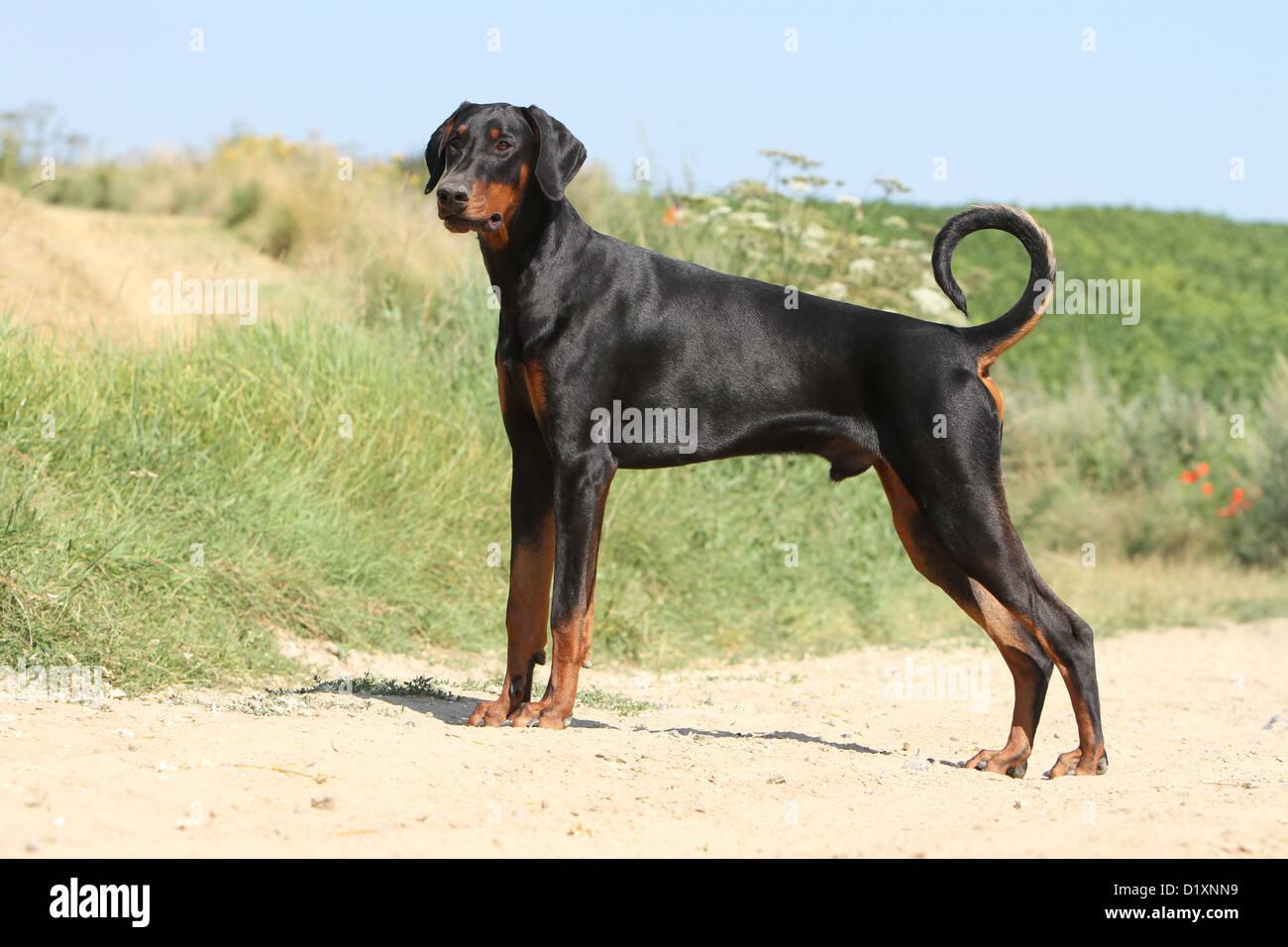 Dog Dobermann / Doberman Pinscher (natural ears) adult standard profile - Stock Image