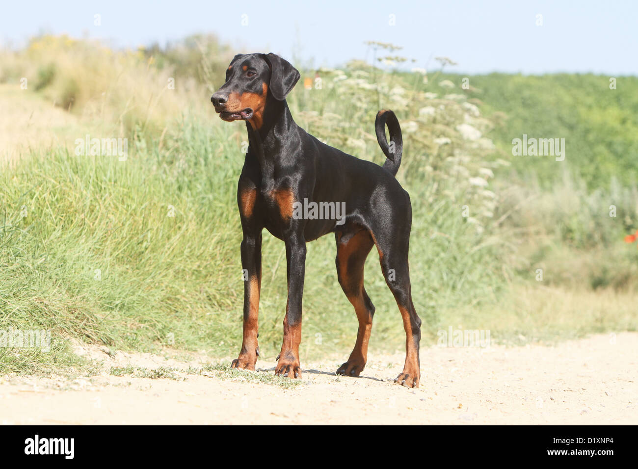 Dog Dobermann Doberman Pinscher Natural Ears Adult Standing