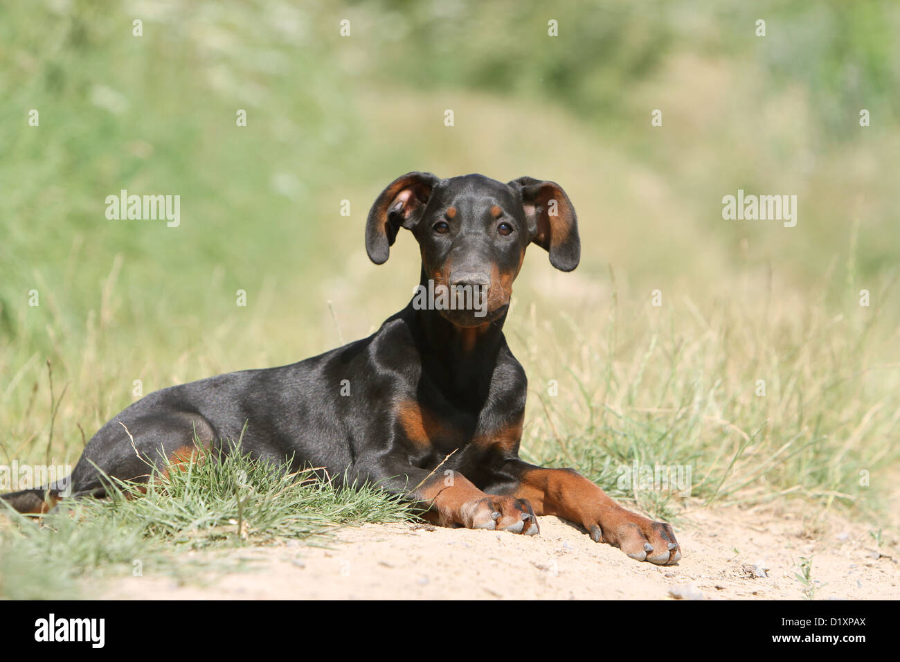 Dog Doberman Pinscher With Natural Ears Natural Tail Black And