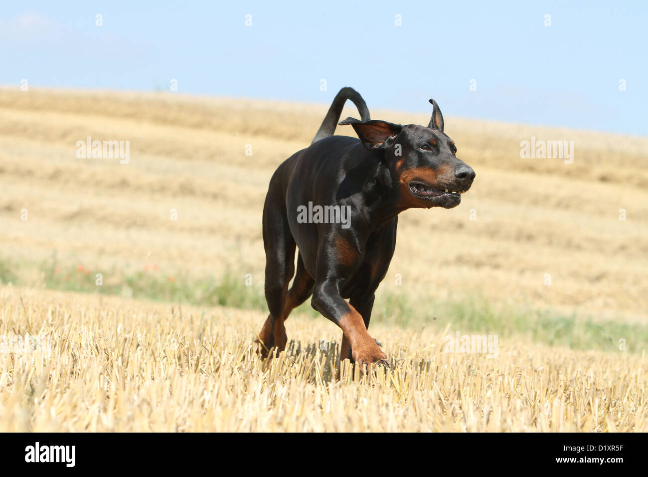 Dog Dobermann / Doberman Pinscher (natural ears) adult running - Stock Image