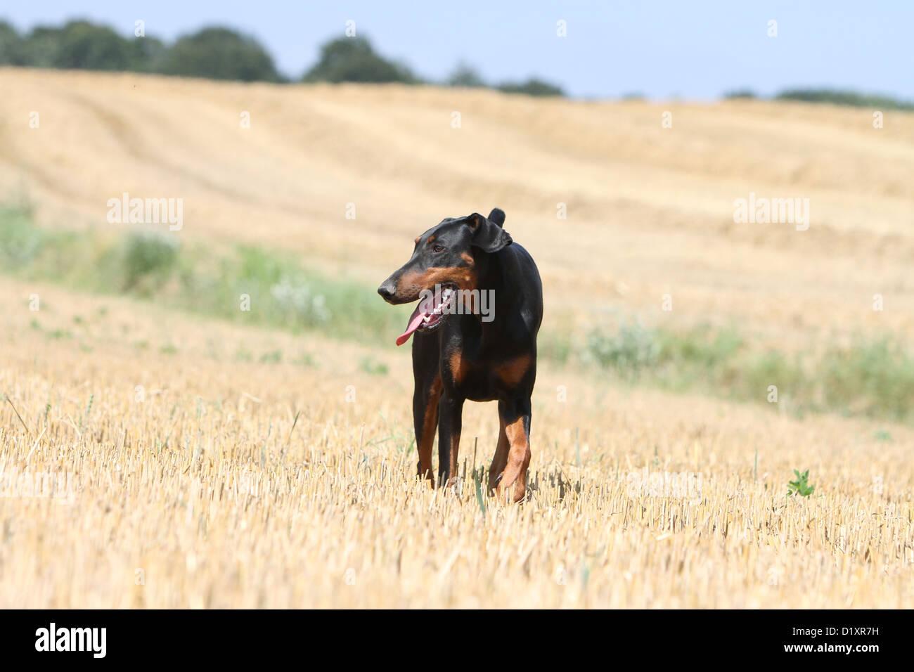 Dog Dobermann / Doberman Pinscher (natural ears) adult walking - Stock Image