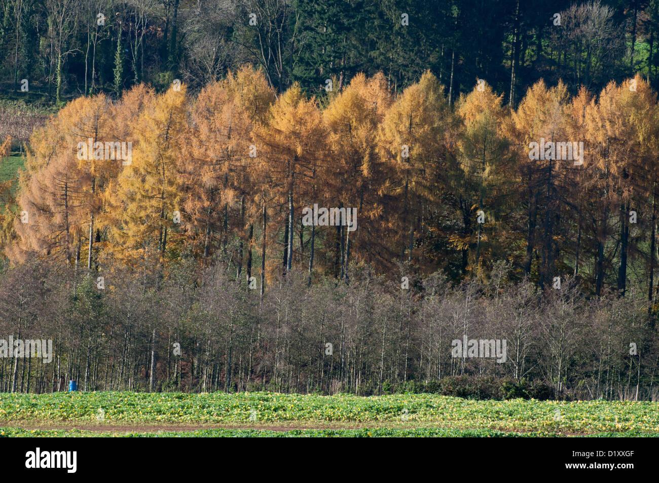 autumnal landscape, edge of forest, conifer trees, autumn colours, sapplings, crops - Stock Image