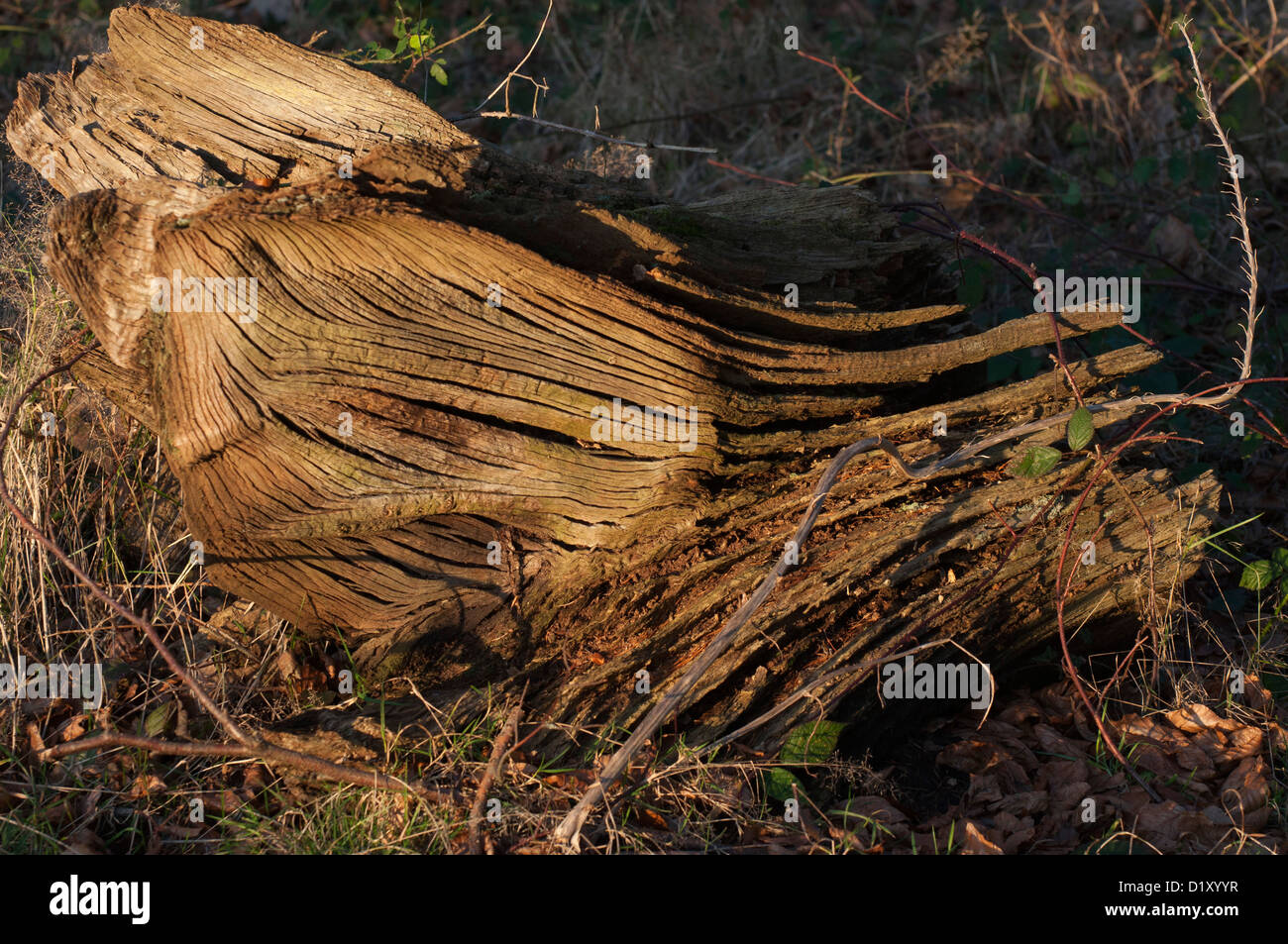 dead tree trunk, horizontal, textures, sidelit, forest, woodland, selective focus, shadows - Stock Image