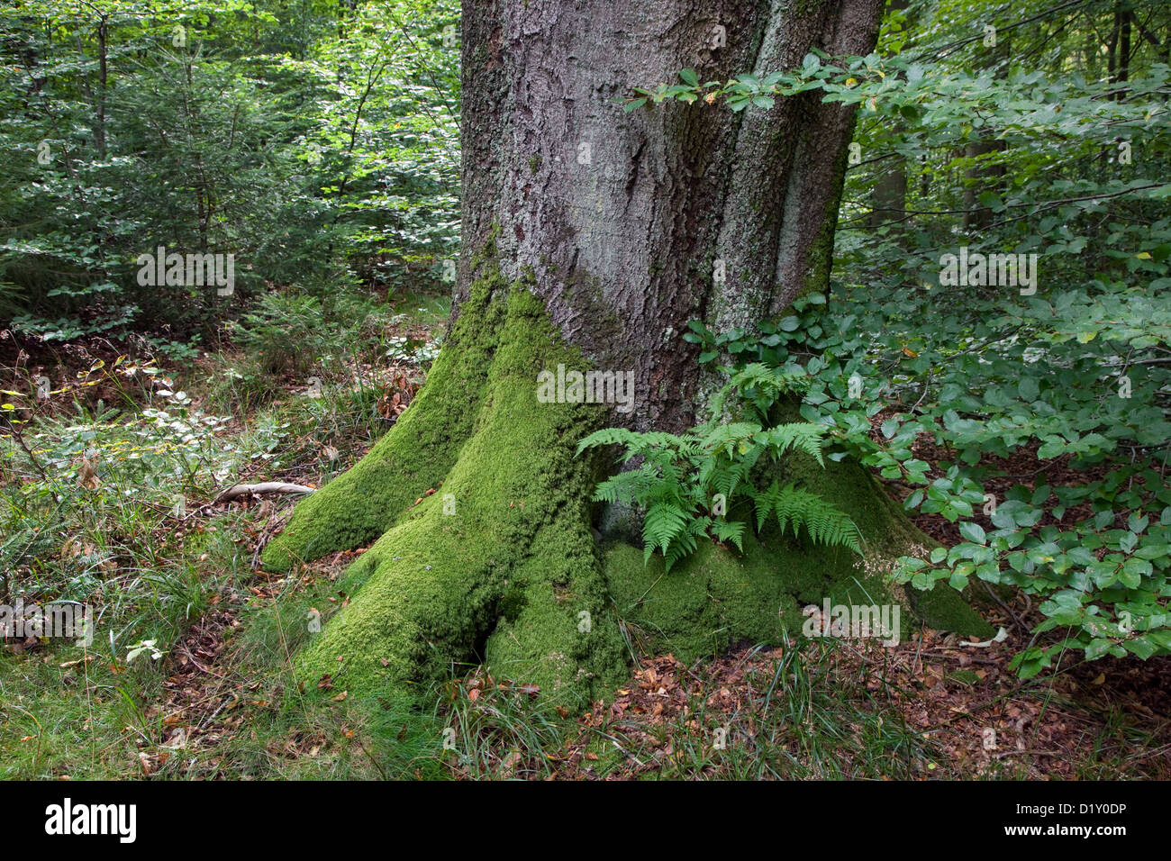 Common beech tree trunk (Fagus sylvatica) in broad-leaved forest in summer - Stock Image