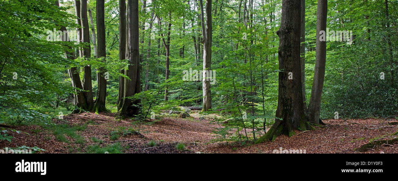 Common beech tree trunks (Fagus sylvatica) in broad-leaved forest in summer - Stock Image