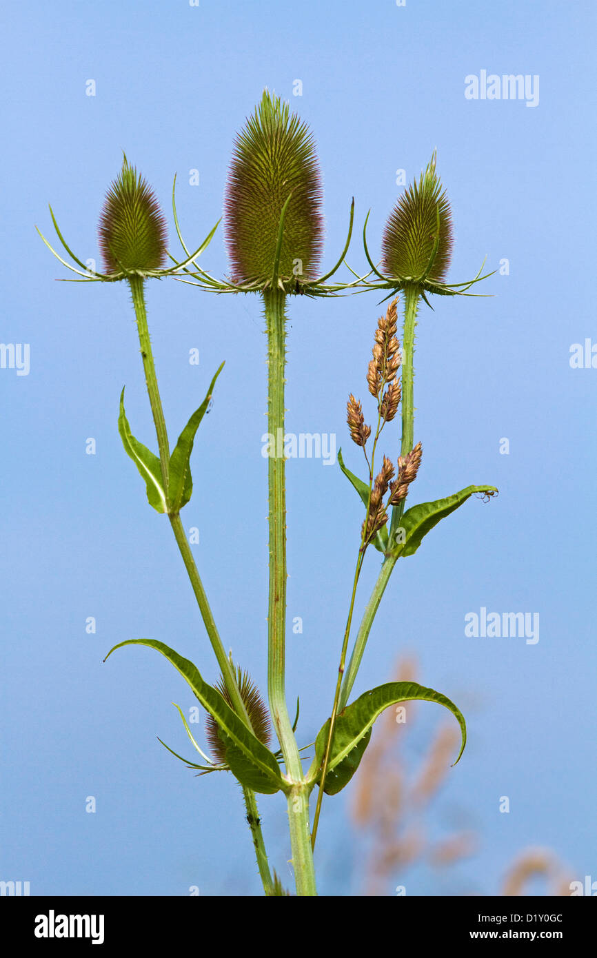 Fuller's teasel / wild teasel (Dipsacus fullonum / Dipsacus sylvestris) close up - Stock Image