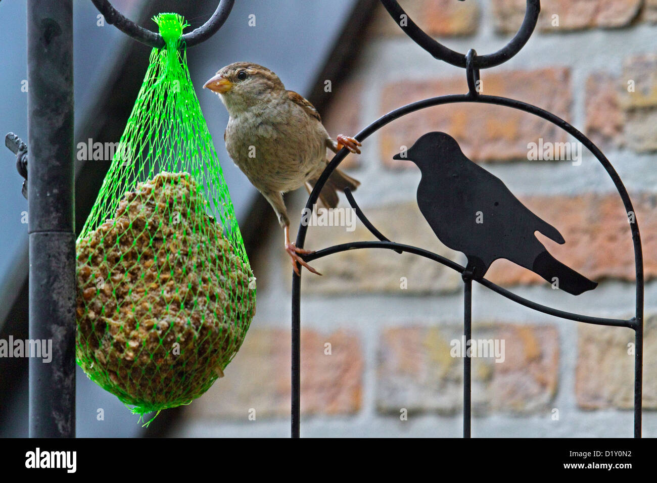 House Sparrow (Passer domesticus) female on bird feeder with fat ball on balcony - Stock Image