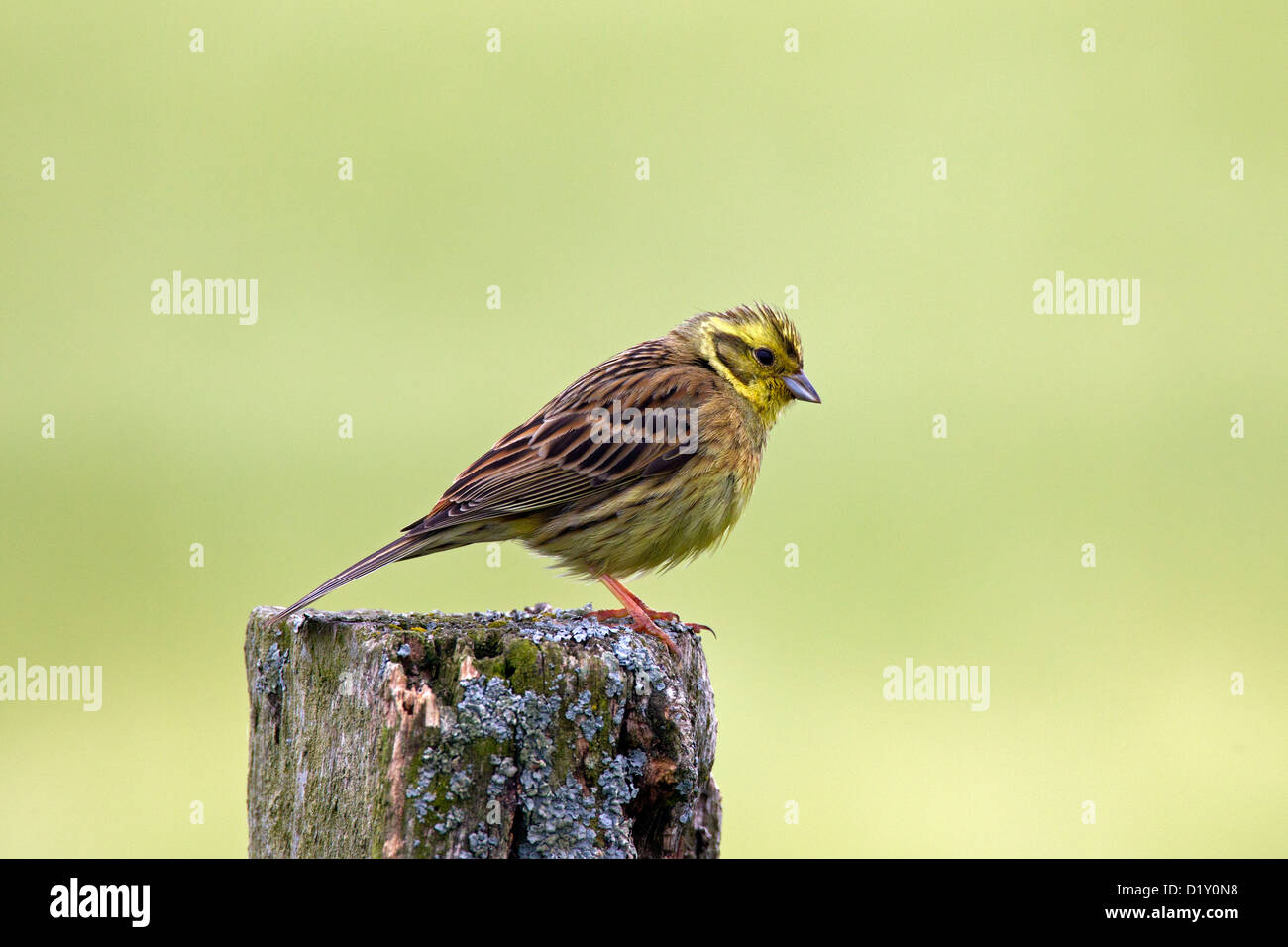 Yellowhammer (Emberiza citrinella) female perched on fence post in field - Stock Image