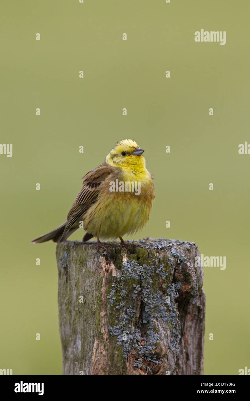 Yellowhammer (Emberiza citrinella) male perched on fence post in field - Stock Image