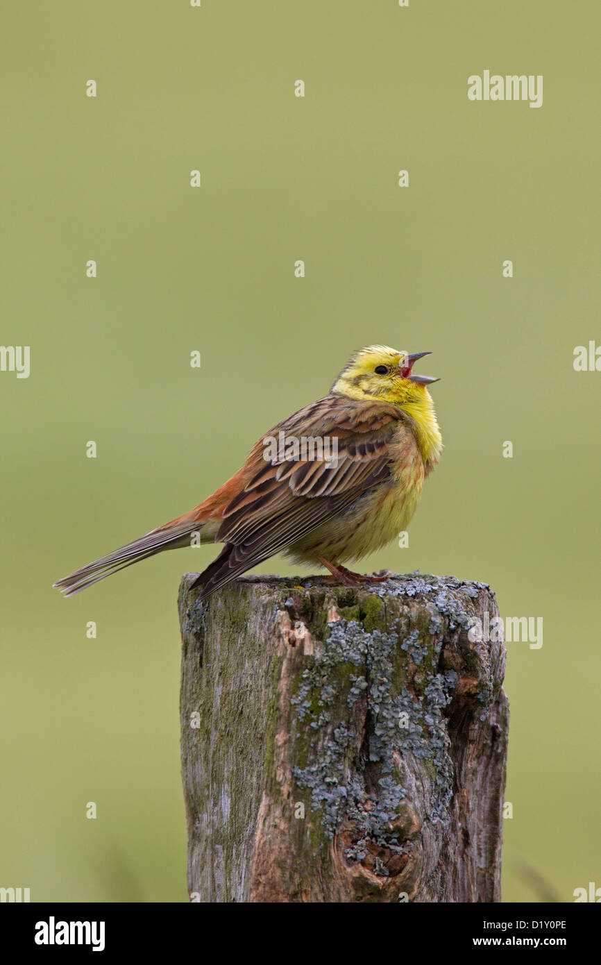 Yellowhammer (Emberiza citrinella) male calling from fence post in field - Stock Image