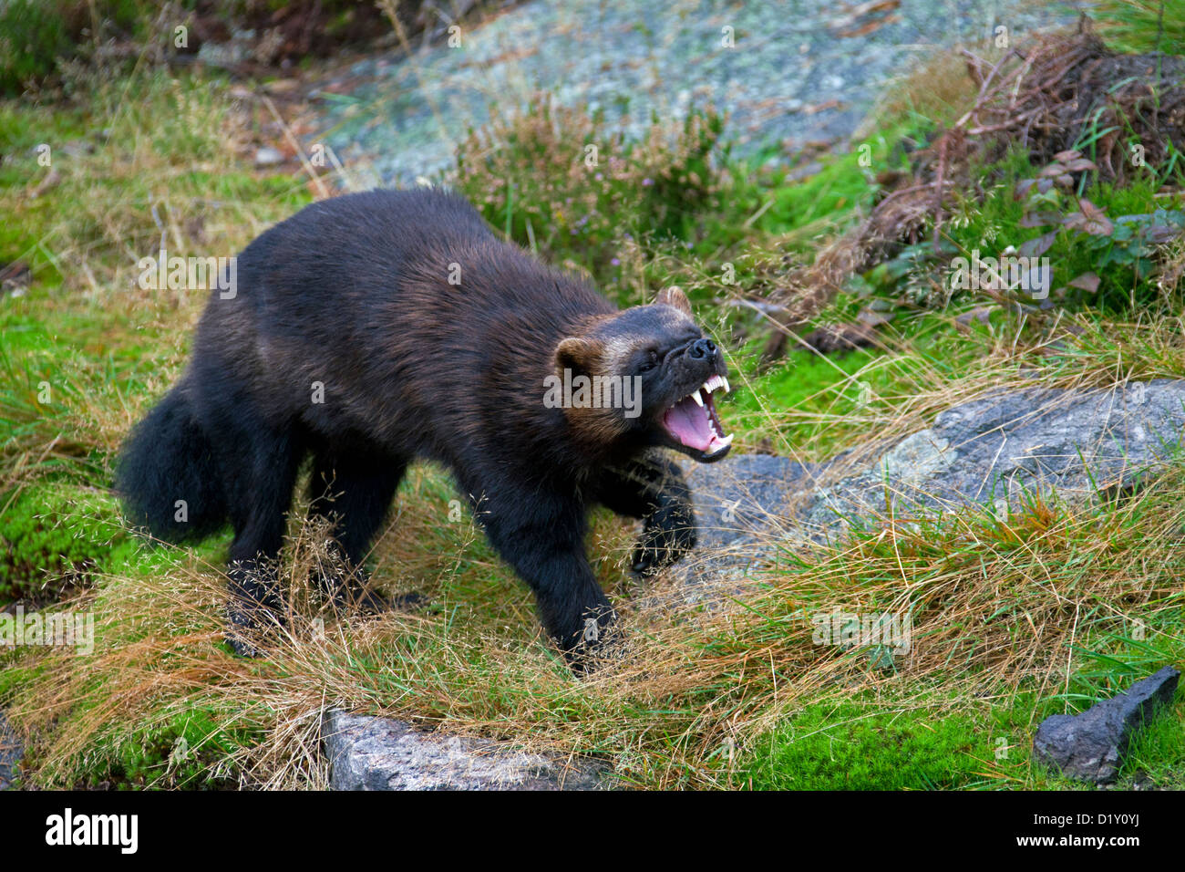 Aggressive Wolverine (Gulo gulo) showing teeth in a menacing threat display on the subarctic tundra in Sweden, Scandinavia - Stock Image