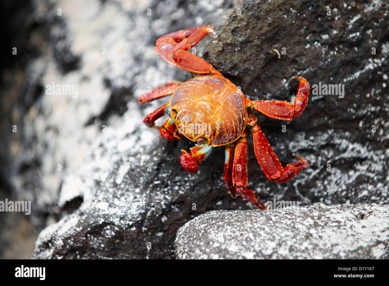 red rock crab, Grapsus grapsus, Tortuga Bay, Puerto Ayora, Santa Cruz, Galapagos Islands, Ecuador - Stock Image