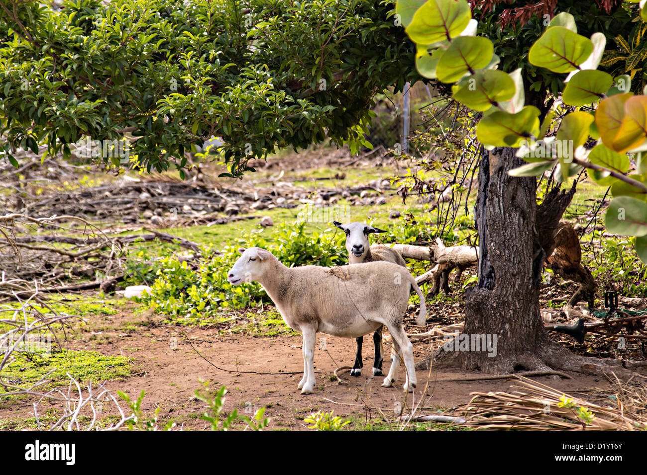 Boer goats Dunmore Town, Harbour Island, The Bahamas. - Stock Image