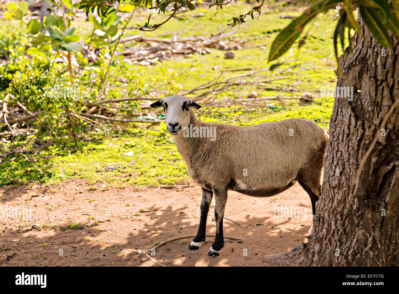 Boer goat Dunmore Town, Harbour Island, The Bahamas. - Stock Image