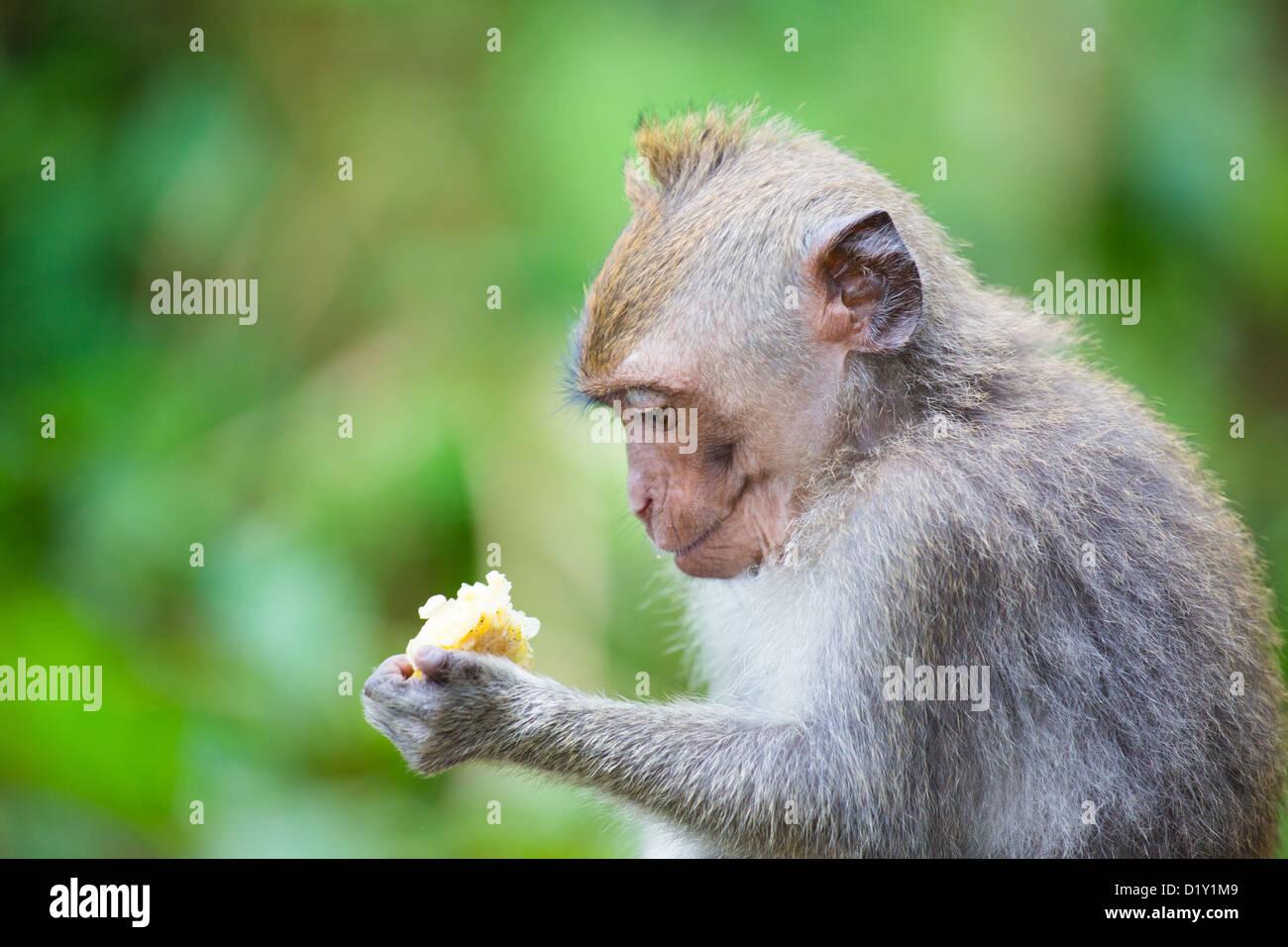 Rhesus macaque monkey in the Monkey Forest, Ubud,, Bali, Indonesia - Stock Image