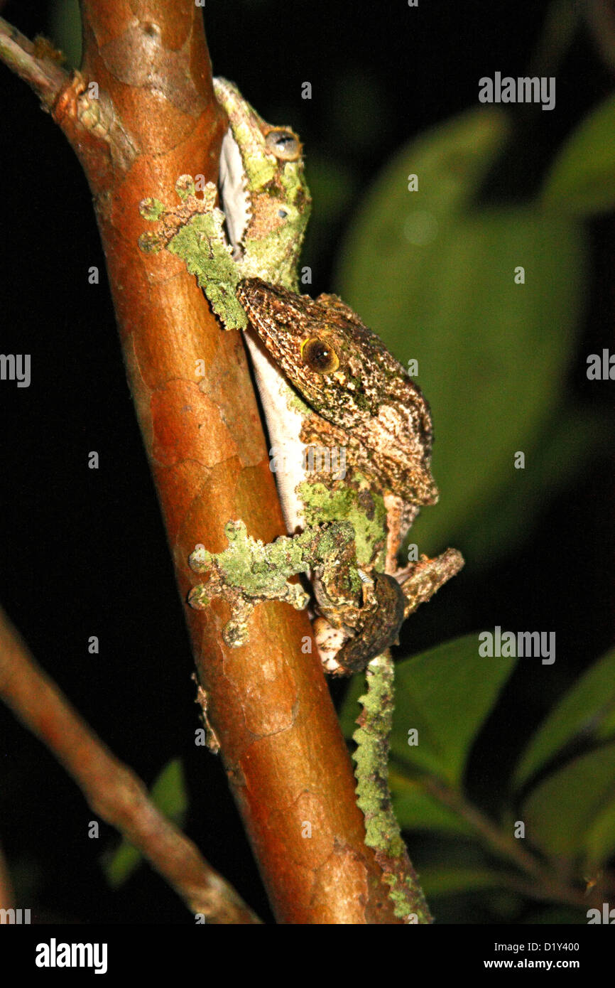 A pair of Madagascan leaf-tailed Geckos mating - Stock Image