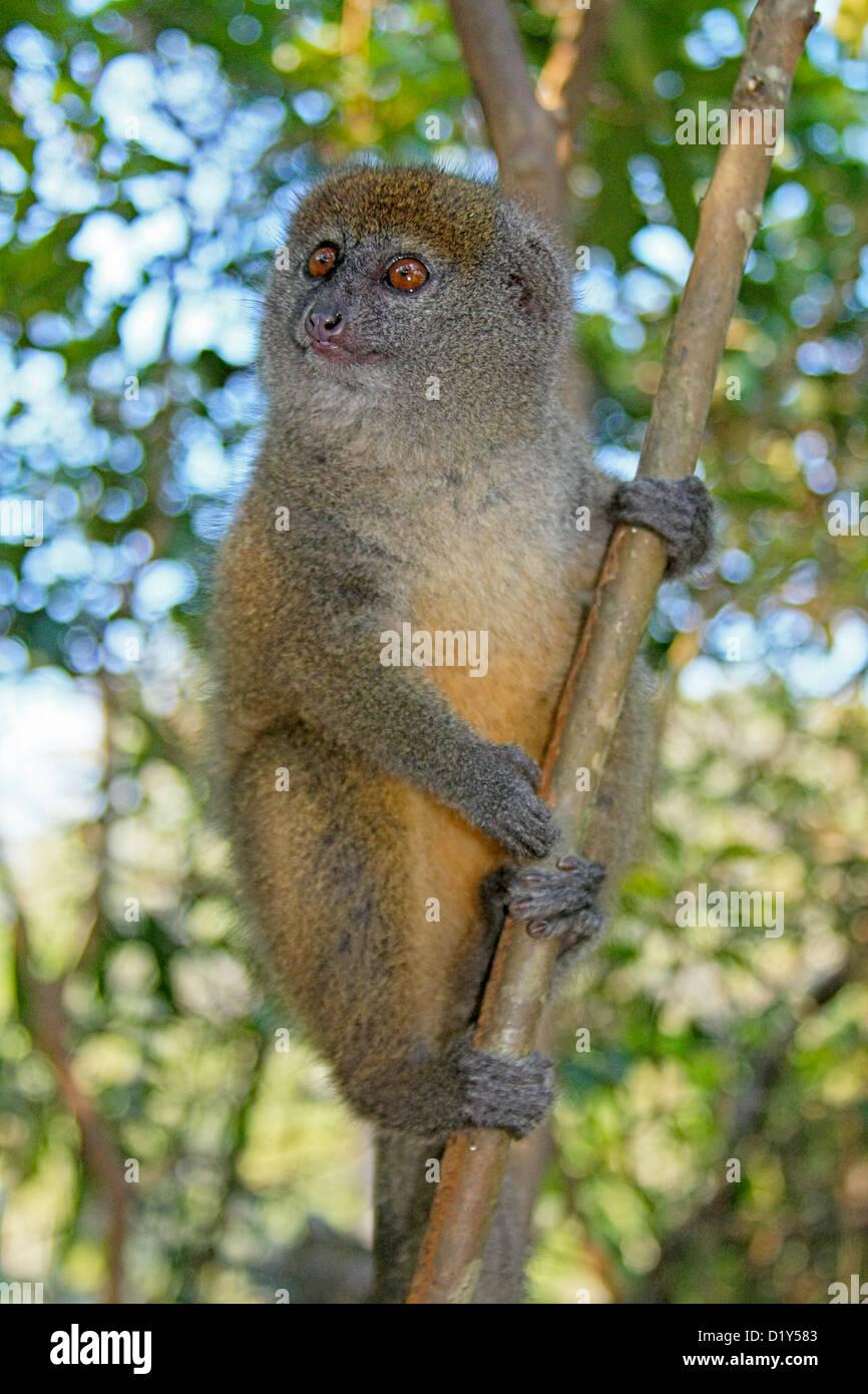 A cute Eastern Lesser (Grey) Bamboo Lemur - Stock Image