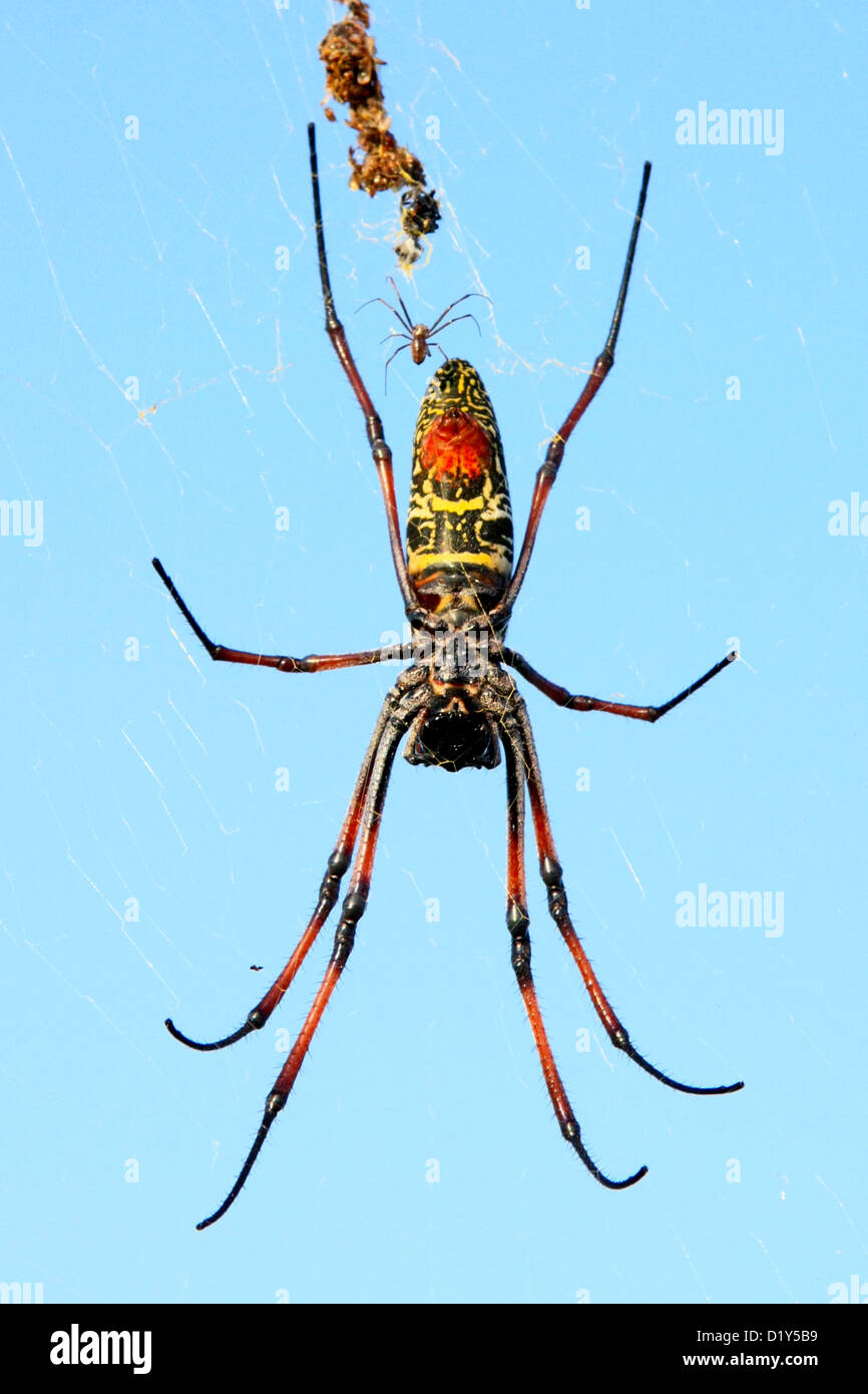 Madagascan Golden Orb Spiders (Nephila madagascariensis) about to mate Stock Photo