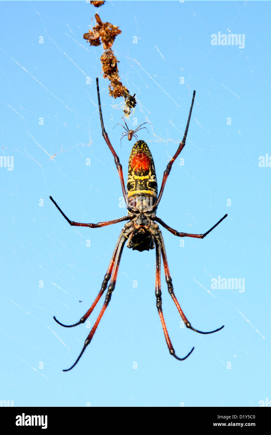 Madagascan Golden Orb Spiders (Nephila madagascariensis) about to mate - Stock Image