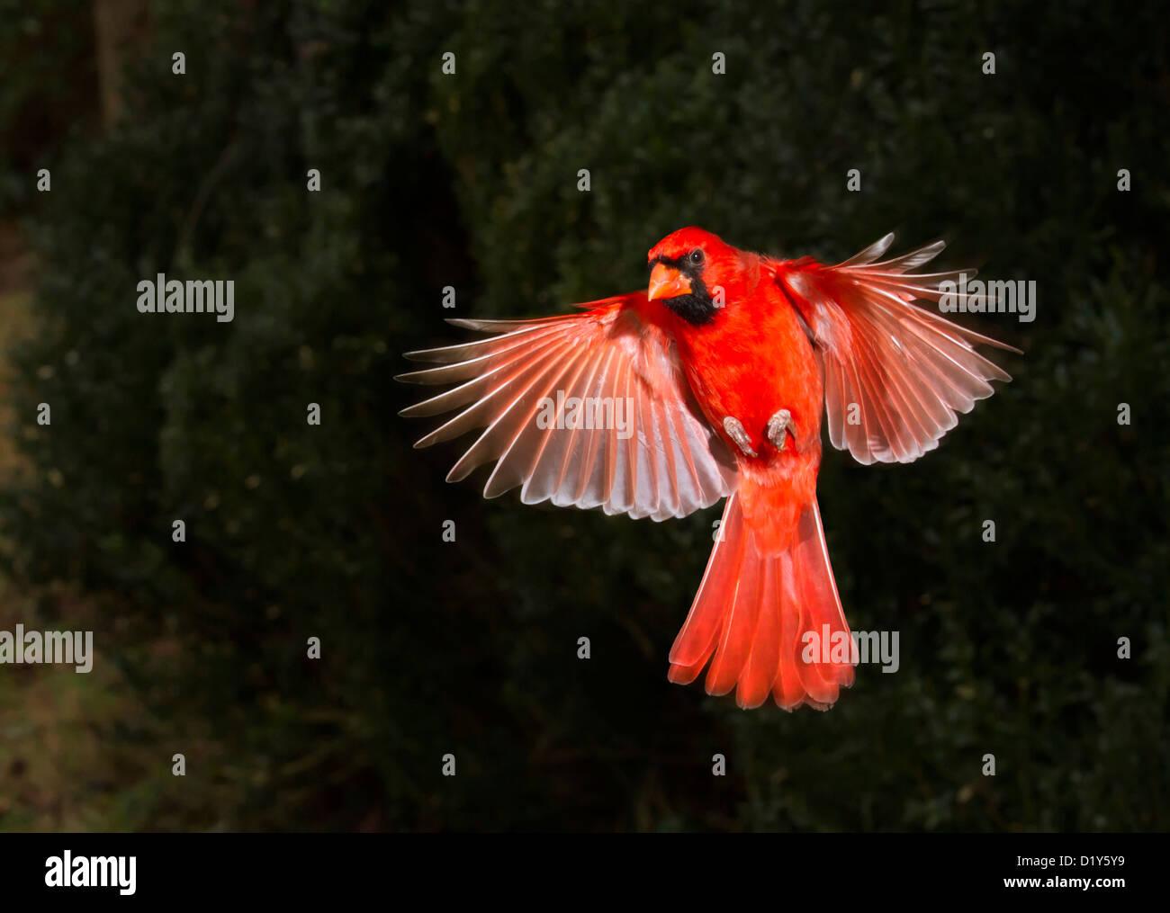 Male northern cardinal (Cardinalis cardinalis) flying (Georgia, USA). - Stock Image