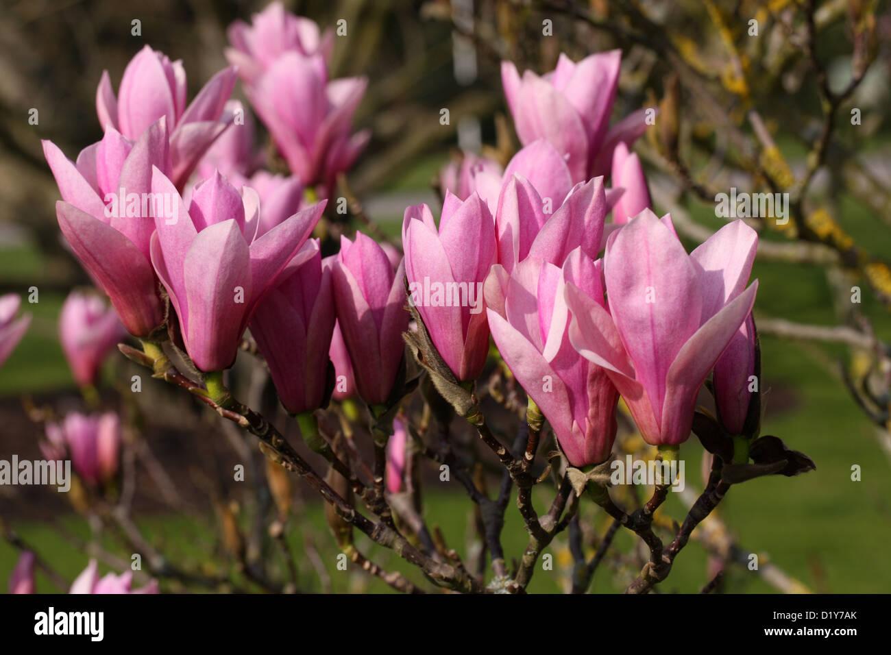 Magnolia Heaven Scent Stock Photos Magnolia Heaven Scent Stock