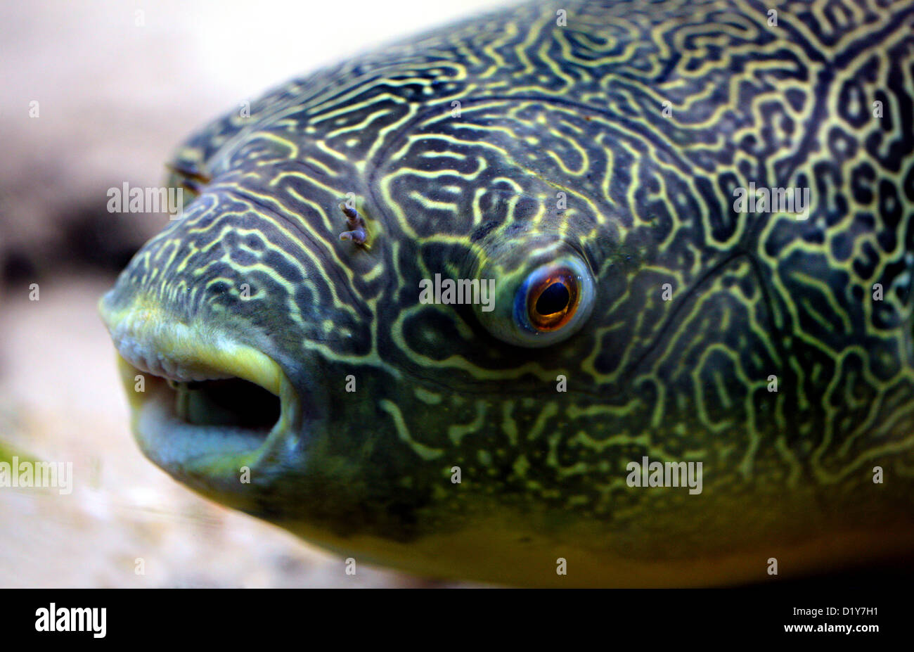 Mbu Puffer, Giant Puffer or Giant Freshwater Puffer fish, Tetraodon mbu, Tetraodontidae. Aka Congo River Puffer - Stock Image