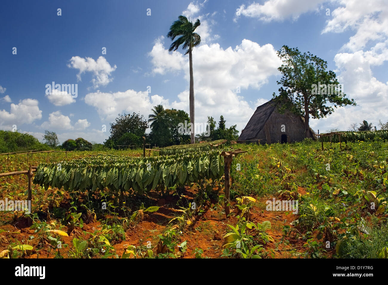 Tobacco drying in field, Vinales, Cuba - Stock Image
