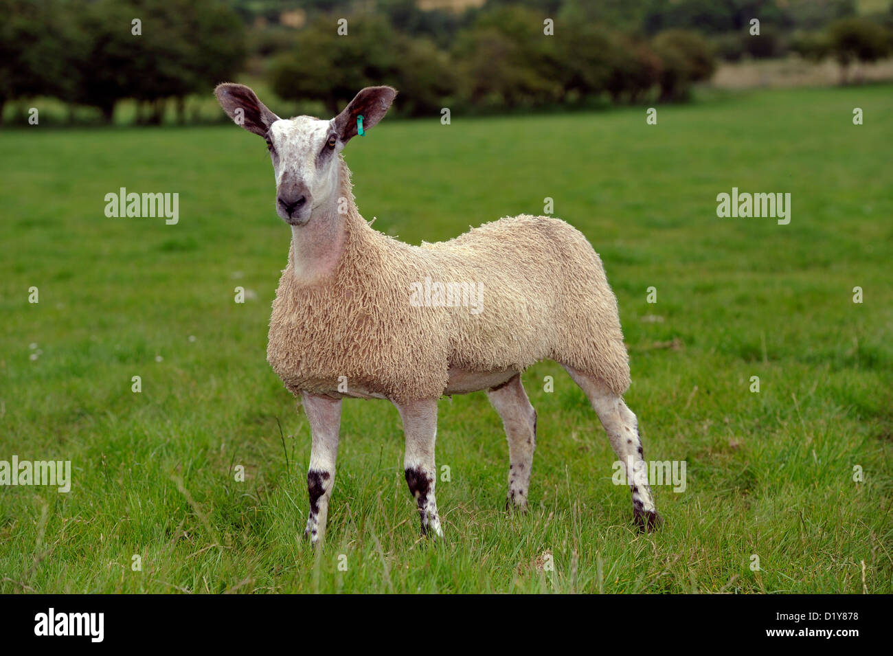Blue Faced Leicester ewe lamb in field. Cumbria, UK - Stock Image