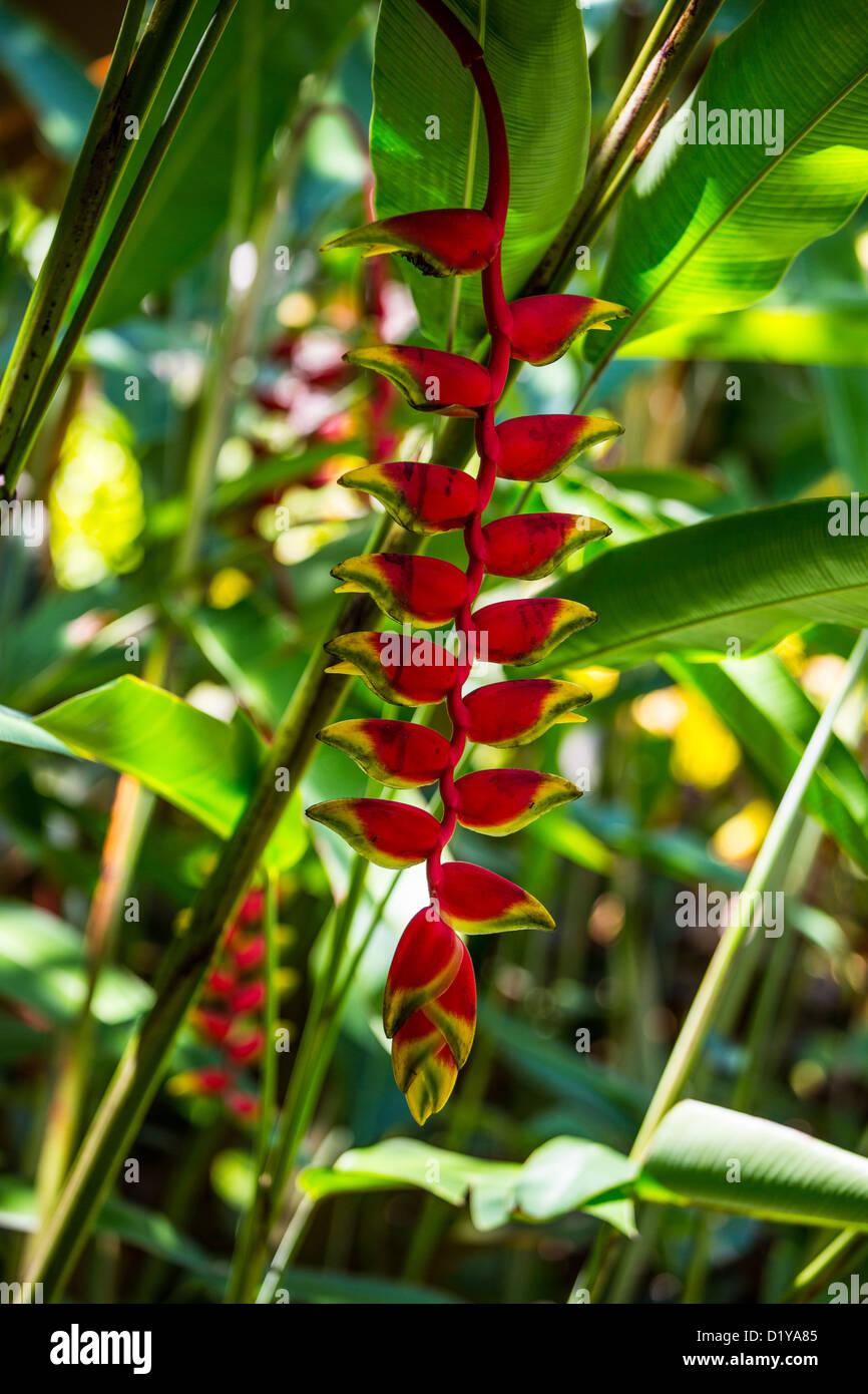 Heliconia pendula, traditional gardens, Hyatt Regency Sanur, Bali, Indonesia - Stock Image
