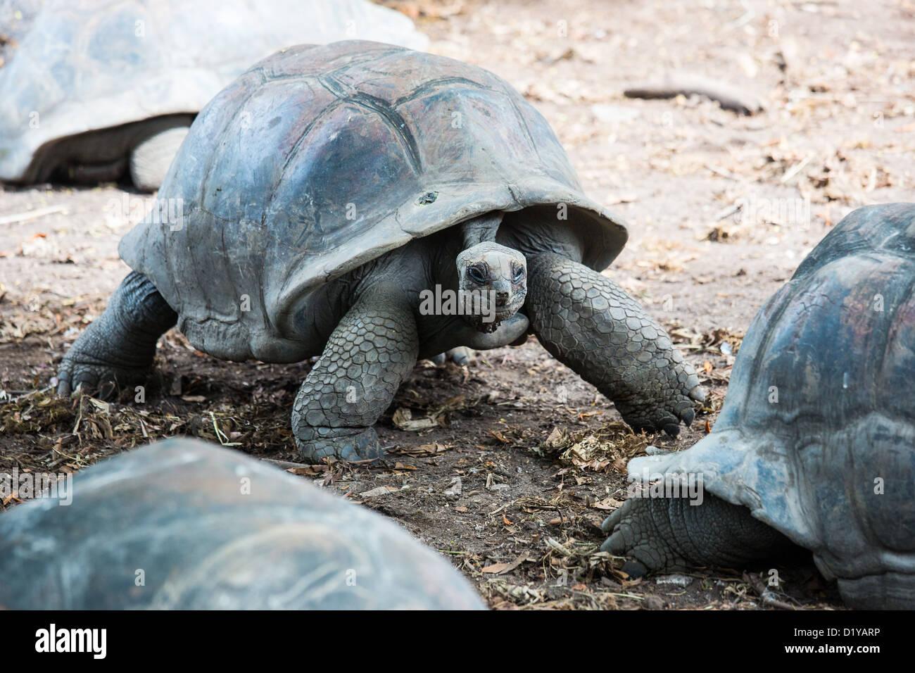 Giant Seychelles tortoise, L' Union Estate, La Digue Island, Seychelles - Stock Image