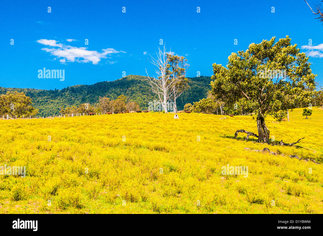 Yellow Flowers In Pasture New South Wales Australia Stock Photo