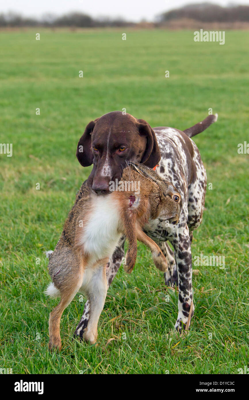 German Wirehaired Pointer fetching a hare Stock Photo: 52847968 - Alamy