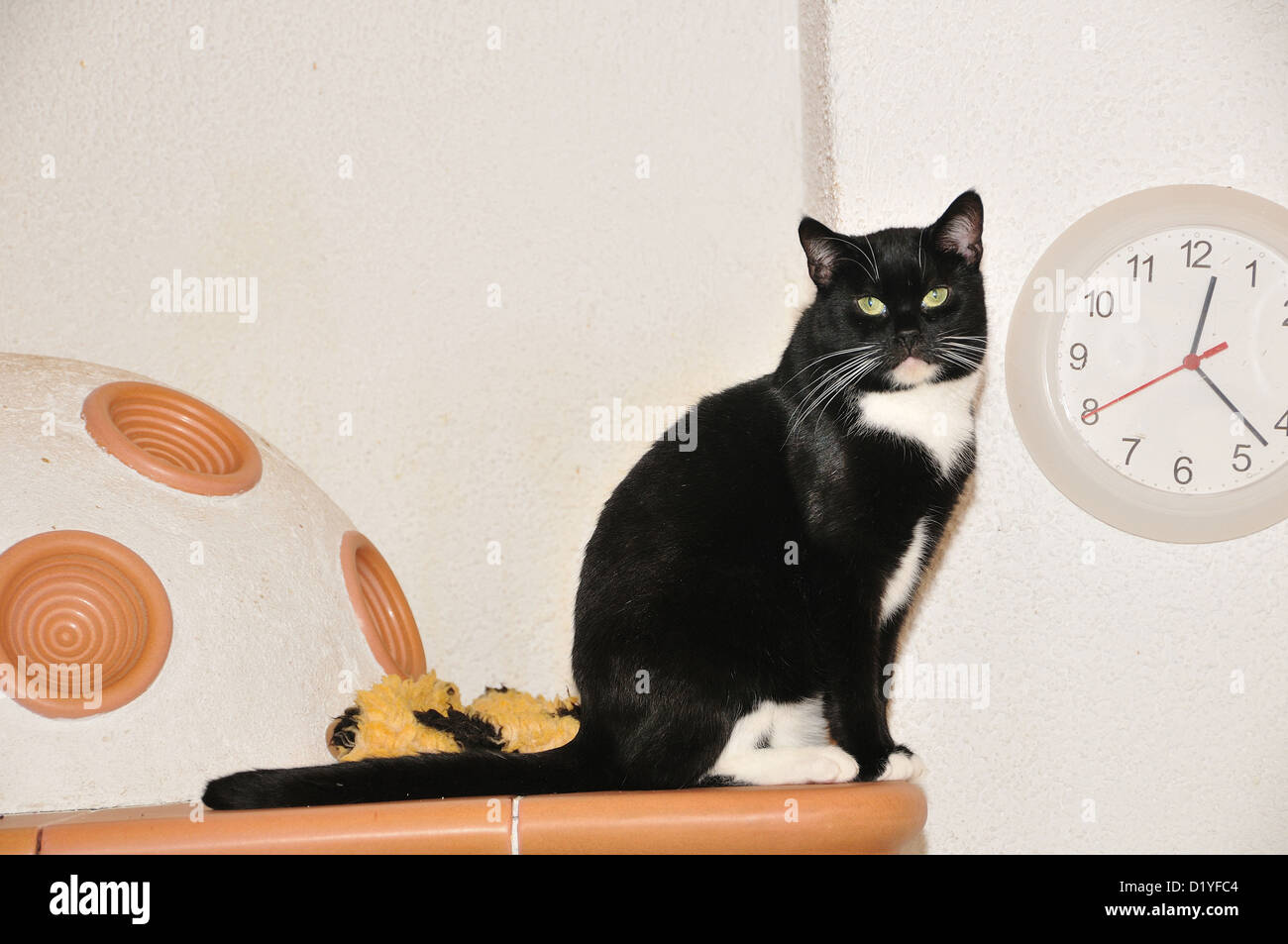 Domestic Cat. Black-and-white adult on a tiled stove - Stock Image