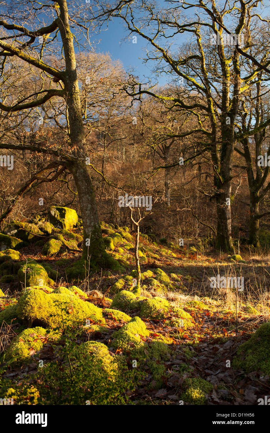 The ancient oak forest was once part of the 'Forest of Buchan' and is the least spoiled natural sessile - Stock Image