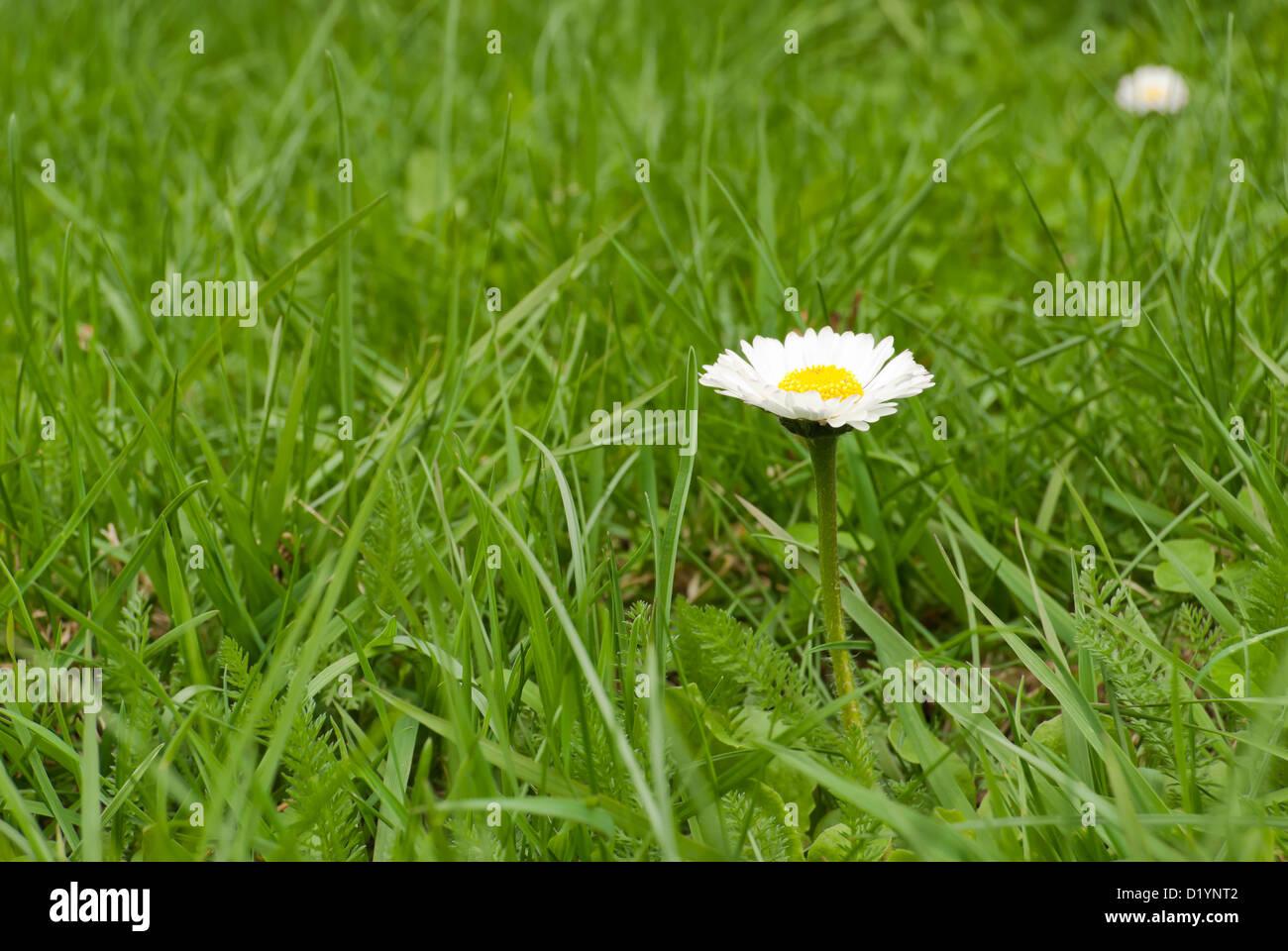 Fleur Marguerite Stock Photos Fleur Marguerite Stock Images Alamy