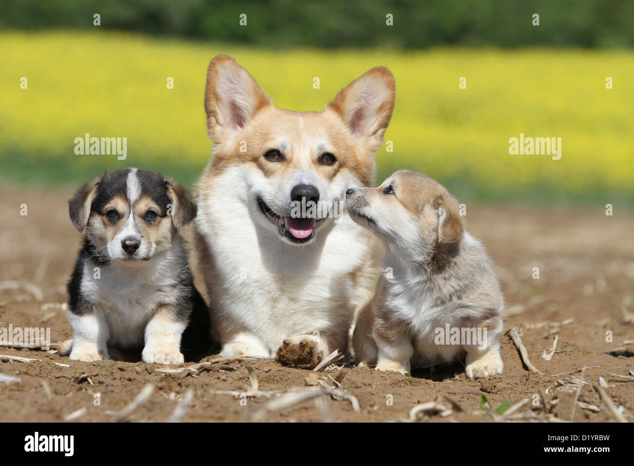 Dog  Pembroke Welsh corgi adult and two puppies different colors sitting - Stock Image