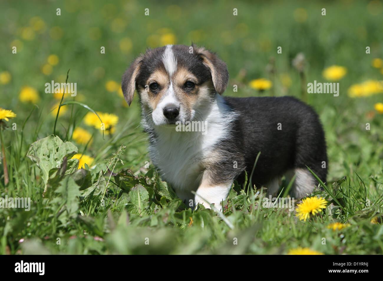 Black And White Corgi Pup Stock Photos & Black And White Corgi Pup