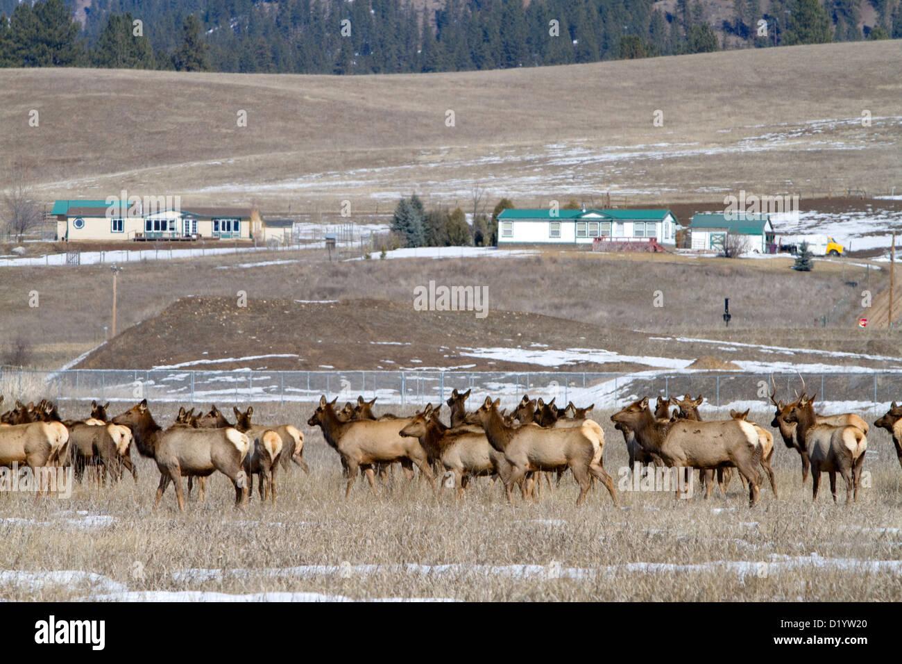 Elk Herd Grazing Near Garden Valley, Idaho, USA.