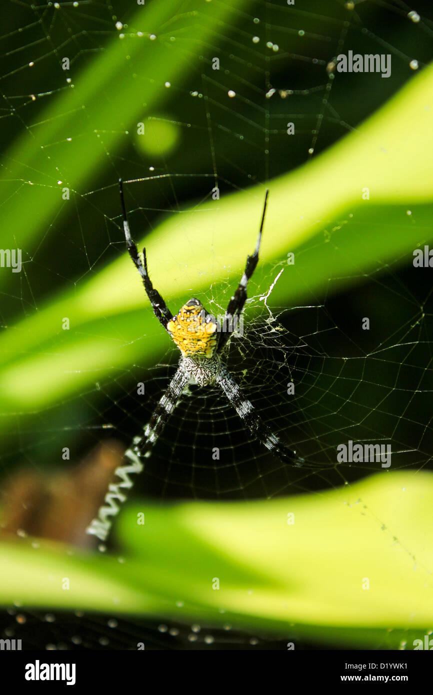 Argiope Hawaii Spider Arachnid on Web - Stock Image