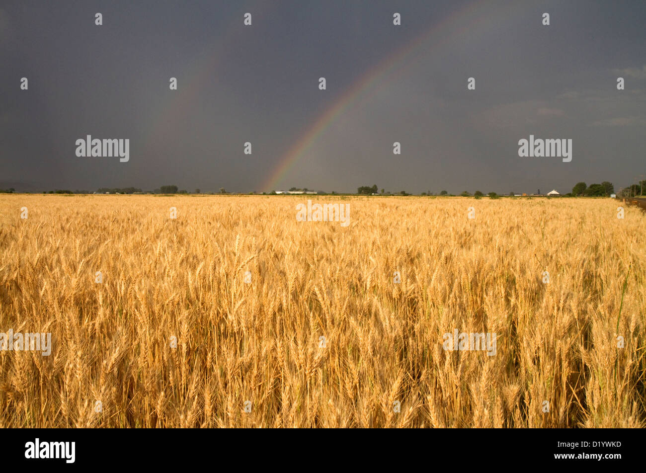 Golden wheat field with rainbow in the sky, Payette County, Idaho, USA. - Stock Image