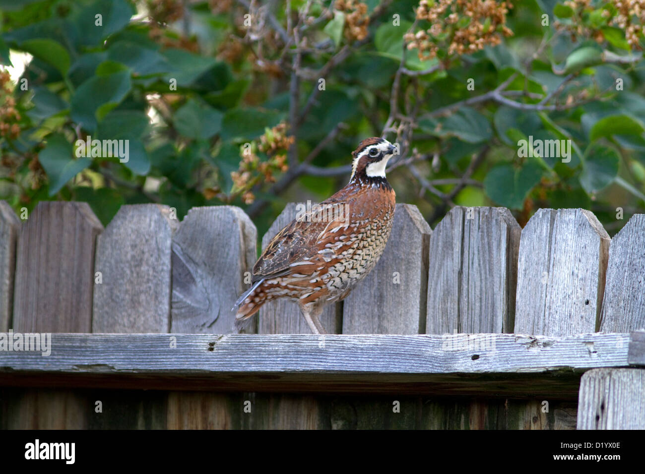 Adult male Northern Bobwhite quail in a residentail backyard, Boise, Idaho, USA. - Stock Image