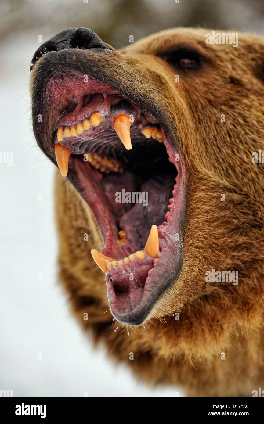 Grizzly bear (Ursus arctos) Snarling, fierce expression, Bozeman, Montana, USA - Stock Image