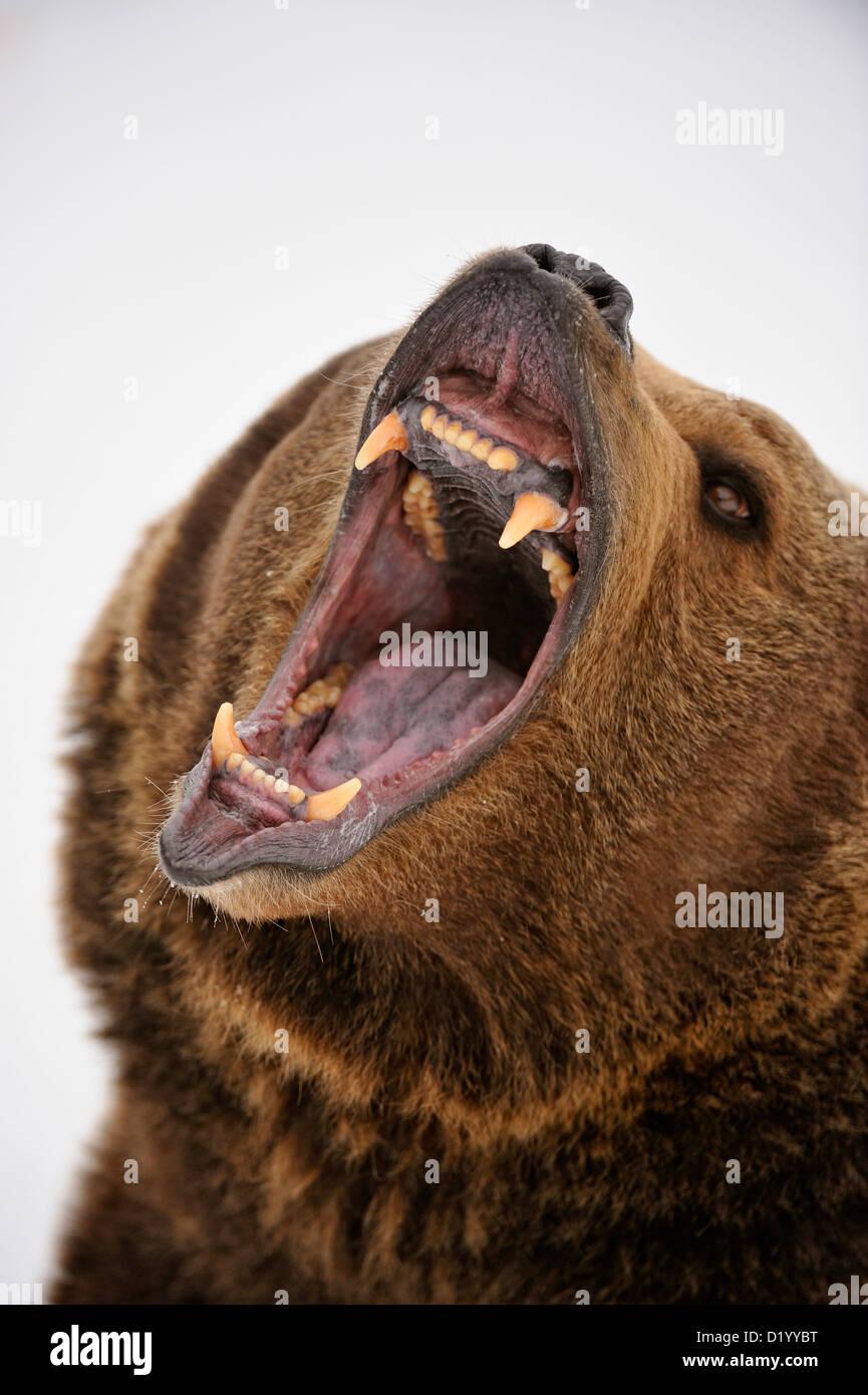 Grizzly bear (Ursus arctos) Snarling, fierce expression, Bozeman, Montana, USA - Stock Image