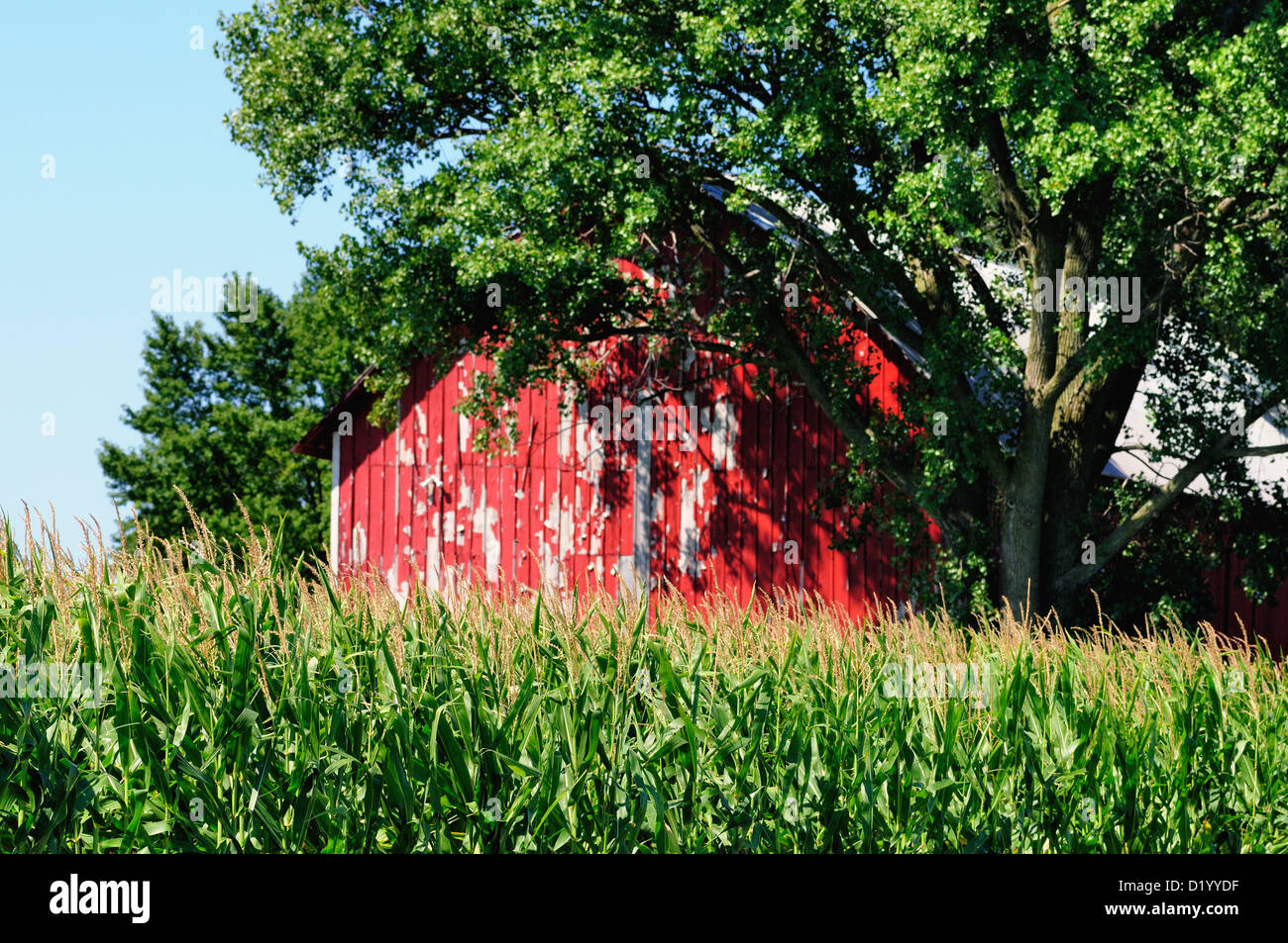 Agriculture corn crop red weathered barn Illinois farm. USA. - Stock Image